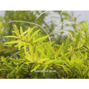 "Rotala sp ""Big Bear"""
