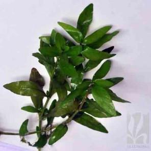 """Hygrophila polysperma """"Green"""""""