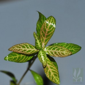 """Hygrophila polysperma """"Rosanervig"""""""