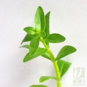 "Limnophila aromatica ""Green"""