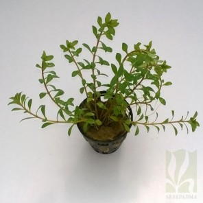 "Ludwigia arcuata ""Dark Red"""