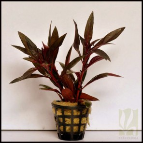 Ludwigia perennis/ glandulosa