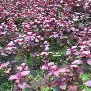 Hemigraphis sp. Pink