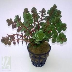 "Rotala rotundifolia ""red"""