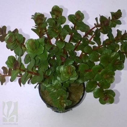 "Rotala rotundifolia ""red"""
