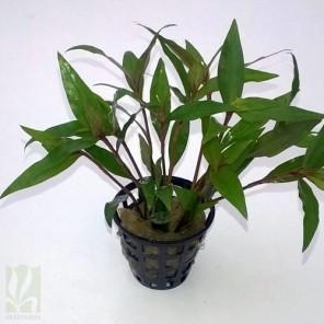Floscopa cf. scandens
