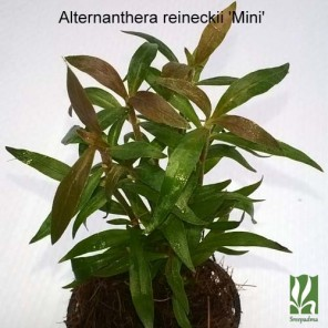 "Alternanthera reineckii ""mini"""