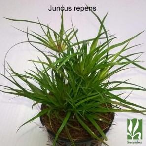 Juncus repens