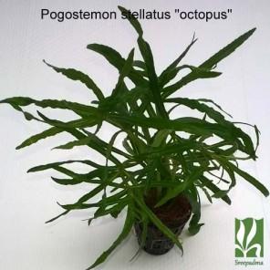 "Pogostemon stellatus ""octopus"""
