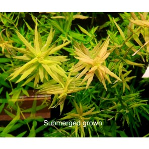 """Rotala sp. """"compact"""""""