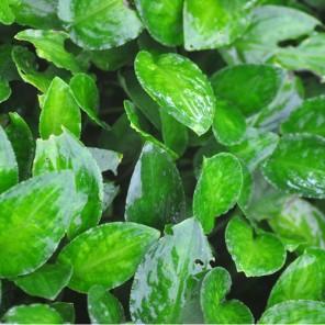 Lagenandra meeboldii -Green