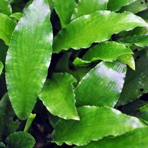 Lagenandra toxicaria -green