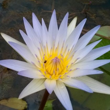 Nymphaea sp. Night Blooming ( White - Big)