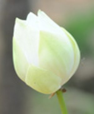 Nelumbo nucifera - White