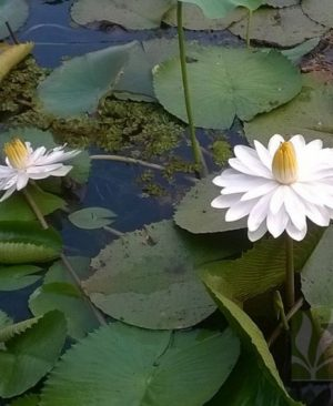 Nymphaea pubescens - White Big flower
