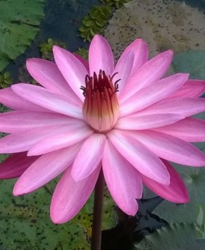 Nymphaea sp. Night Blooming ( Pink)