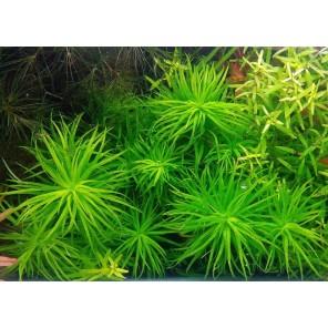 Syngonanthus lago grande