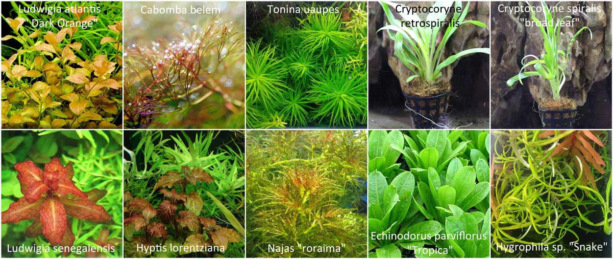 Aquatic Plants New Arrivals