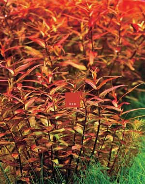 Red Color Aquatic Plants