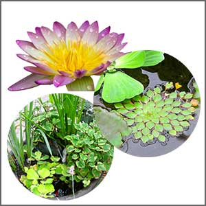Floating & Pond Plants