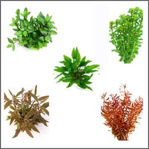 Midground Plants
