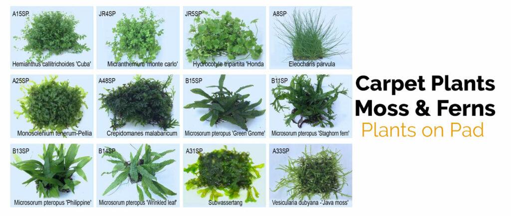 carpet plants moss and ferns