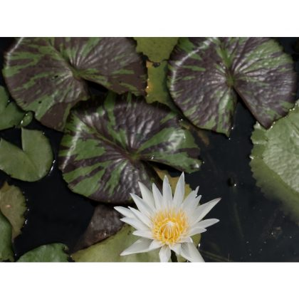 Nymphaea capensis 'White Flower' - variegated leaves