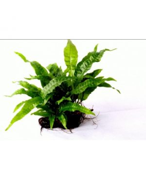 Java Fern on Rock